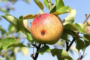 תולעים בפירות קיץ